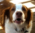 Brittany Spaniel, 3 years, Brown