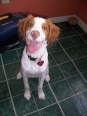 Brittany Spaniel, 4 months, White and Orange