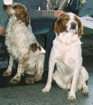 Brittany Spaniel, 4 years, Bron