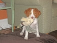 Brittany Spaniel, 4.1 months, orange and white
