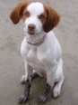 Brittany Spaniel, 6 months, orange & white
