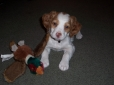 Brittany Spaniel, 7 weeks, White and Orange