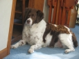 Brittany Spaniel, 9 Years Old, Liver and White