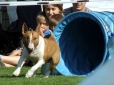 Bull Terrier, 1 year, Brown and White