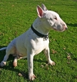 Bull Terrier, 1 year, White