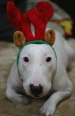 Bull Terrier, 2 years, White