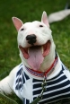 Bull Terrier, 3 years, White