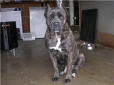 Cane Corso Italiano, 2 years old, blue brindle