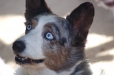 Cardigan Welsh Corgi, 1 year, Blue Merle