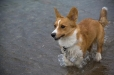 Cardigan Welsh Corgi, 1 year, Brown