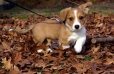 Cardigan Welsh Corgi, 2 months, Brown