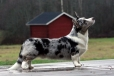 Cardigan Welsh Corgi, 3 years, Blue Merle
