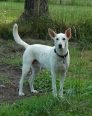 Carolina Dog, 3, white