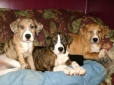 Catahoula Bulldog, 10 weeks, assorted