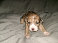 Catahoula Bulldog, 2 weeks, Patchwork merle