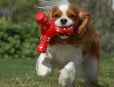 Cavalier King Charles Spaniel, 1 year, Brown