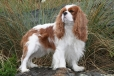Cavalier King Charles Spaniel, 3 years, Blenheim