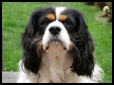 Cavalier King Charles Spaniel, 3 years, Tri Color