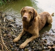 Chesapeake Bay Retriever, 1.5 years, Brown