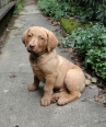 Chesapeake Bay Retriever, 2 months, Brown