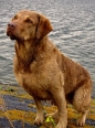 Chesapeake Bay Retriever, 3 years, Brown