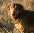 Chesapeake Bay Retriever, 5 years, Brown