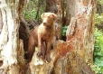 Chesapeake Bay Retriever, 6 months, Brown