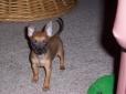 Chihuahua, 10mos, tan