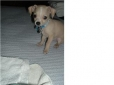 Chihuahua, 4mths, fawn