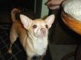 Chihuahua, 6, Tan
