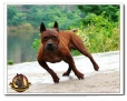 Chinese Chongqing Dog, 2 years, red-brown