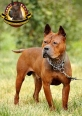 Chinese Chongqing Dog, 5 years, yelllow-brown