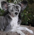 Chinese Crested, 1 year, Black and White