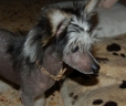 Chinese Crested, 1.5 years, Black