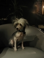 Chinese Crested, 2 years, White