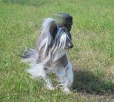 Chinese Crested, 2.5 years, Black and White
