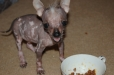 Chinese Crested, 6 months, black and pink