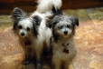 Chinese Crested, 7 & 8  months, Black and White