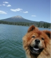 Chow Chow, 1.5 years, Red