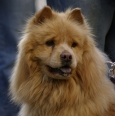 Chow Chow, 2 years, Red
