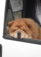 Chow Chow, 2.5 years, Red