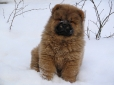 Chow Chow, 3 months, Red