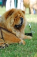 Chow Chow, 3 years, Red