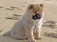 Chow Chow, 4 months, Red