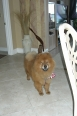 Chow Chow, 4, Red