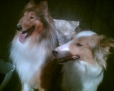 Collie, 1,5yer, red&whit