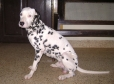 Dalmatian, 1 year 2 Months, White with Black Spots