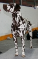Dalmatian, 1.5 years, Brownand White