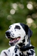 Dalmatian, 11 months, Black and White