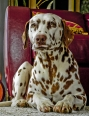 Dalmatian, 2 years, Brown and White